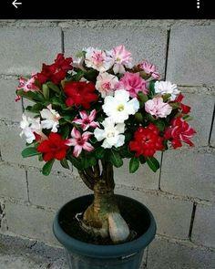 .Adenium (Flor del Desierto)
