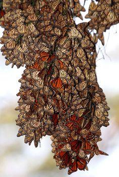 Étonnante photographie! // Les papillons se soignent par les plantes- 15 octobre 2010 - Sciencesetavenir.fr // #papillon #monarque