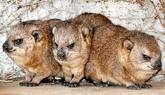 Rock Hyrax (Africa and Middle East) - closest relatives are elephants (weird)