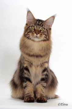 Pajocoons Theobromine of Chemicoons  ---  International Best Maine Coon, Best Allbreed Cat USA