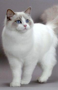Ragdoll Cat...How pretty!