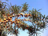 Rokitnik – nieznany cud natury   Prawda.xlx.pl - Zdrowie Home Remedies, Natural Remedies, Medicinal Plants, Geraniums, Bushcraft, Begonia, Mother Nature, Health And Beauty, Survival