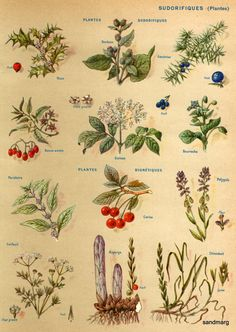Chart of Plants Sudorifiques
