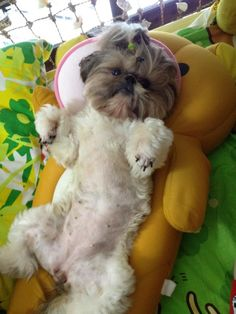 Love how her head is dark and body light...howabout a Shih Tzu belly rub?