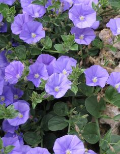 (2nd photo, showing up close) convolvulus mauritanicus - , trailing plant that is low growing and shrubby. Light purple flowers and evergreen foliage. Very drought tolerant.