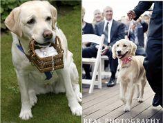 cachorro levando alianças em casamento