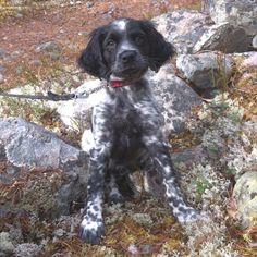 Breton from Elverum in Norway. 10 weeks old.