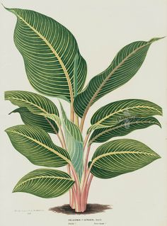 Heliconia striata from 1845 Louis Van Houtte Flores de Serres Beautiful Leaved Prints