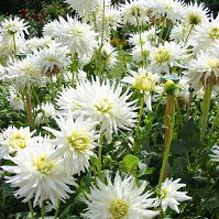 Stunning white Cactus Dahlia. You don't need many of these to fill a vase!