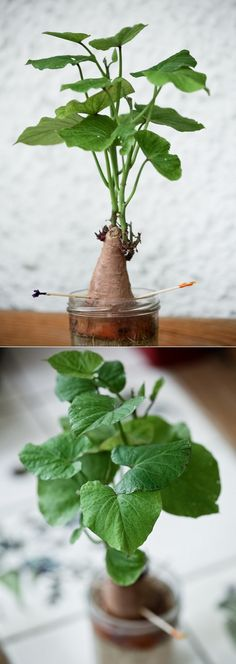 Growing Sweet Potato in Water