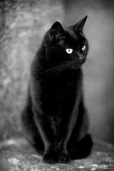 Black Cat, Bright Eyes, Just Waiting …. Black Cat, Bright Eyes, Just Waiting …. Funny Cats, Funny Animals, Cute Animals, Funny Humor, Black Cat Art, Black Cats, Black Kitty, Gatos Cool, Super Cat