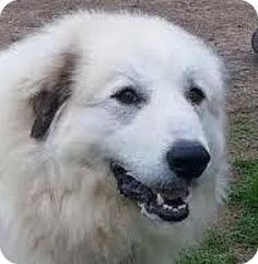 8/2/16 Baltimore, MD - Great Pyrenees Mix. Meet Gorgeous, a dog for adoption. http://www.adoptapet.com/pet/16288469-baltimore-maryland-great-pyrenees-mix
