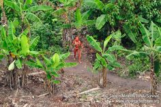 """""""The pictures were taken by Brazil's Indian Affairs Department, which has authorized Survival to use them as part of its campaign to protect their territory. They reveal a thriving, healthy community with baskets full of manioc and papaya fresh from their gardens."""" (uncontactedtribes 2013)"""