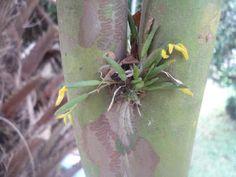 Acianthera sonderiana - Mini-orquídea - FloraSBS