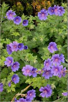 "Hardy Geranium ""Johnson's Blue"" - - Learn how to use Geraniums in your garden.  We show you how at http://gardendesignforliving.com/?p=1273"