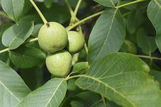 #Nogal: este #árbol que da nueces nos aportará el valor de sus frutos | Plantas y Semillas
