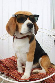 """Waiting for my manager"" #dogs #pets #Beagles #ILoveMyDog #PuppyLove #DogLove #JOJODogFood"