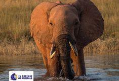 Please advocate to save our elephants by signing petitions against poaching & ivory  InDefenseOfAnimals (@IDAUSA) | Twitter  https://www.idausa.org/campaign/elephants/latest-news/hope-extinguished-for-zimbabwes-elephants/