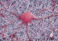 Glial cells. SEM of a glial cell (center). Glial cells are nervous system cells that provide structural support and protection for neurons.