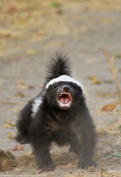 An amazing sighting of a baby honey badger in Botswana's Linyanti concession.