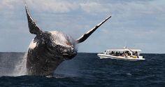 Sydney Whale Watching, Australia's eastern coast