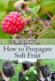 Create new plants by taking cuttings and encouraging them to grow roots. This how-to shows you how to propagate Soft Fruit including Raspberries, Thornless Blackberries, Redcurrants, Blackcurrants, and more! by ollie