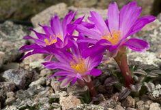 Mammillaria bertholdii