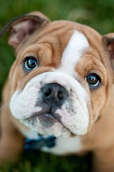 Sweet english bulldog pup  I am in love with this little one...he looks like my Dexy!