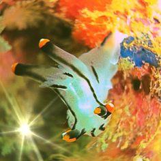 .@koji196219    Thecacera picta ツノザヤウミウシ (Sea slug ,Nudibranch)(*^_^*)  