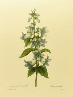 Vintage Bluebell, Pierre Joseph Redoute Blue Flower Print Lithograph, Spring Decor (Botanical Flowers Illustration No. 19) via Etsy