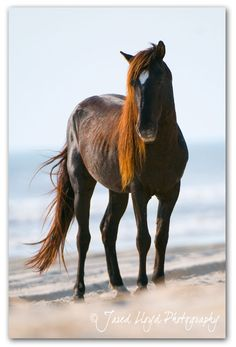 Wild horse on the Outer Banks - our tour guide and wildlife photographer
