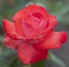 Virtual Flowers, Pretty Images, Water Art, Blooming Flowers, Trees To Plant, Abundance, Jasmine, Red Roses, Beautiful Flowers