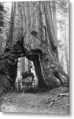 Carleton E Watkins: A horse-drawn cart passing through a section cut out of the base of a giant sequoia tree in the Mariposa groves of Yosemite Park, California. (Photo by Carleton E Watkins/Getty Images). Giant Sequoia Trees, Giant Tree, Big Tree, Yosemite Sequoia, Yosemite Valley, Vintage Pictures, Old Pictures, Old Photos, Old Trees