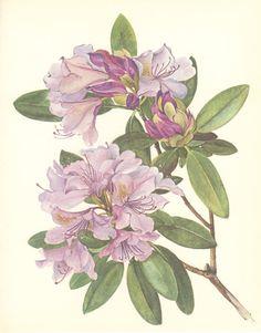 Vintage Flower Print, Catawba Rhododendron, Botanical Plant (93) Natural History, Blossom Art, 1970, Kaplicka