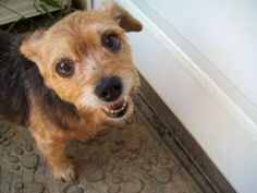 Katie is an adoptable Yorkshire Terrier Yorkie Dog in Soddy Daisy, TN. Katie is about 13 years old and had a puppy named Doobie, who is now about 12 years old. They were posted on Craig's List when th...