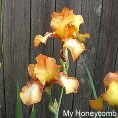 My Honeycomb | Historic Iris Preservation Society