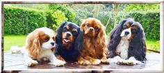One of each color - Cavaliers!