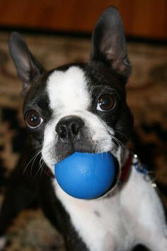 The BEST toy for a Boston, especially if you have wood/hard surface floors.