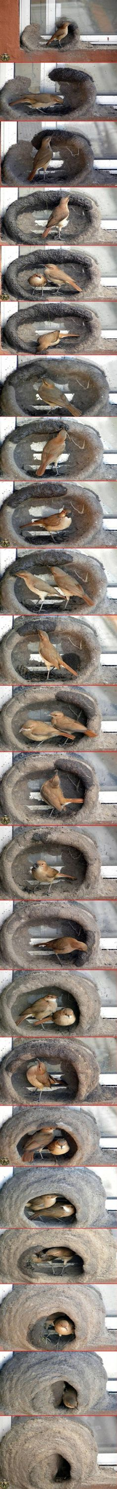 """El hornero (meaning """"oven maker""""/ """"baker"""" in Spanish) or  Furnarius can be found in Brasil, Uruguay, Paraguay, Bolivia and Argentina. The pair builds a nest made of mud in a shape similar to the old mud ovens. This wonderful sequence was photographed by some very patient person. I have personally seen this birds making their nest when I traveled through South America."""