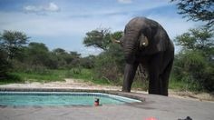 Elephant crashes fresh water pool party. He closes his eyes seeming to enjoy quenching his thirst :)