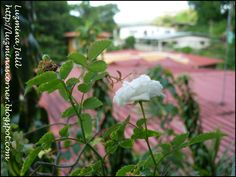 Tiny white rose (0.25 coin/size)...and the smallest amantis I ever seen.. Diminuta rosa blanca del tamaño de una moneda de 0.25 ctvs y la mantis religiosa más pequeña que haya visto.