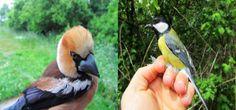 Workshop Conhecer as Aves da Mata. Sessão de Anilhagem Científica na Mata do Buçaco dia 22 de Março 2014 | Escapadelas | #Portugal #Mata #Bucaco #Luso #Workshop #Aves