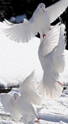 White doves in winter Pretty Birds, Love Birds, Beautiful Birds, Animals Beautiful, Cute Animals, Sea Birds, Animals Sea, White Doves, Tier Fotos