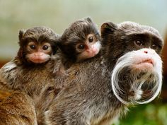 Adorable twin Emperor Tamarins being carried round by their parent, gives them lots of time to look cute!