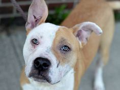 TO BE DESTROYED - 10/13/14 Brooklyn Center - P  My name is LOKI. My Animal ID # is A1016084. I am a male tan and white pit bull mix. The shelter thinks I am about 10 MONTHS old.  I came in the shelter as a OWNER SUR on 10/02/2014 from NY 11208, owner surrender reason stated was LLORDPRIVA.