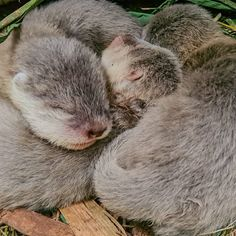 """@otter_dailylove on Instagram: """"Nap Time❤️ credit: @zoodortmund @zoolotse . . . . . . #otters #otter #ottersholdinghands #ottersofinstagram #otterbox #otterlover…"""""""