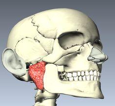 Situación de la glándula parotidea derecha.