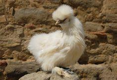 młoda kura jedwabista inaczej nazywana Silki