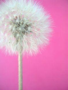 Image de pink, flowers, and dandelion