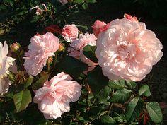 Rosa Grus an Aachen